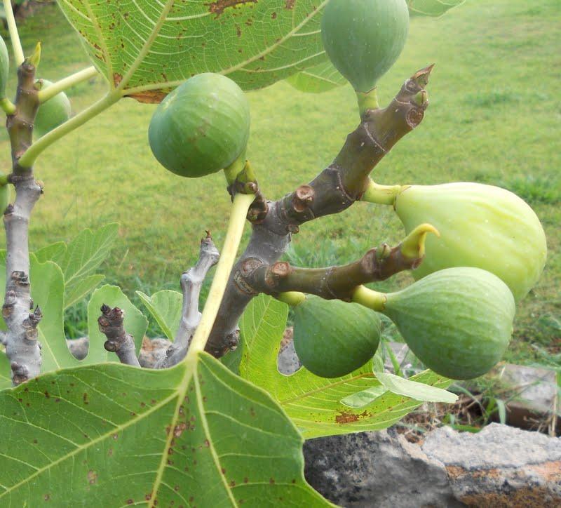 A Ripe Brown Turkey Fig