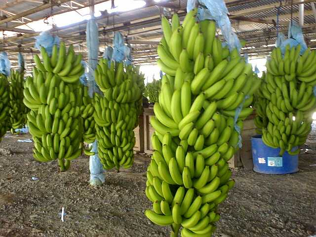 USA Welcomes Philippine Banana after Ban from China over Scarborough