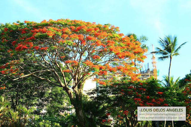 a shot of the fire tree at the gates of Hyatt Hotel Guam