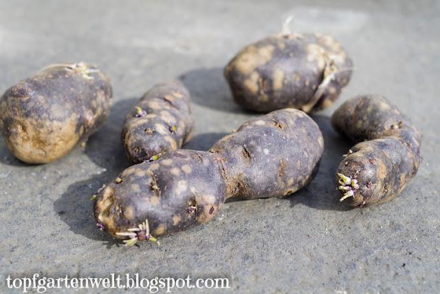 blaue Kartoffeln | Vitelotte - Gartenblog Topfgartenwelt