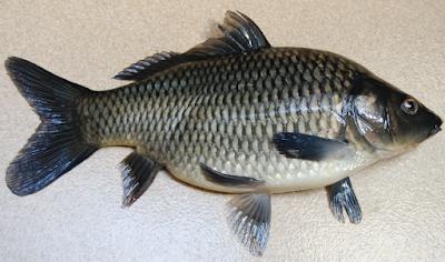 Jenis Jenis Ikan Konsumsi Dan Gambarnya - Ikan Hias Air Tawar Laut dan ...
