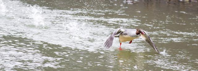 Female Goosander taking to flight