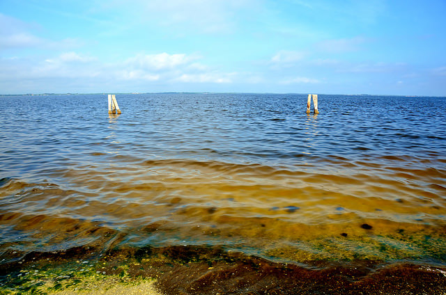 Brown Algae In The Indian River Lagoon
