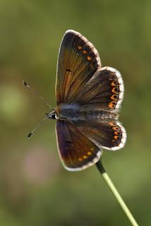 Para ampliar Aricia montensis (morena serrana) hacer clic