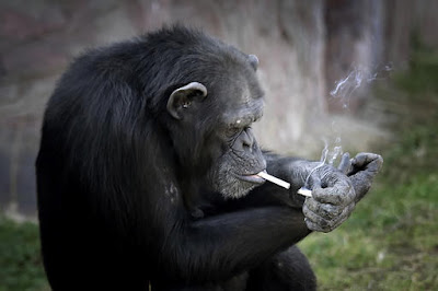 Meet Azalea, Chimpanzee Who Smokes A Pack Of Cigarette A Day