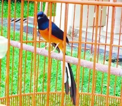 6 Ciri Ciri Fisik Burung Murai Batu Bahorok Paling Akurat