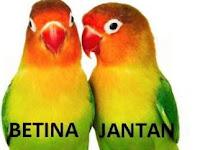 Cara Mengetahui Umur Lovebird