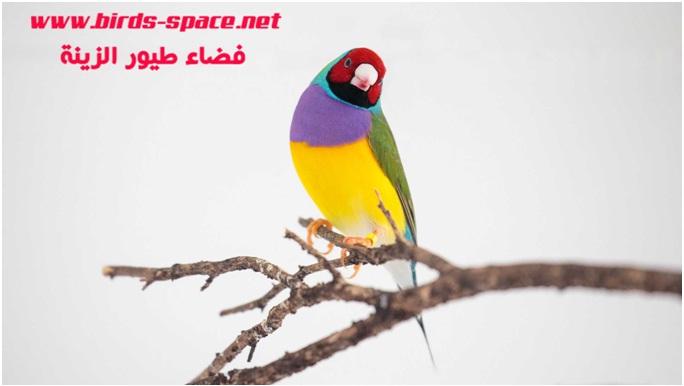 يعتبر الجولديان فينش (Gouldian finches) أول طائر تم اكتشاف وجود الطفيلي به و هو أكثر الطيور الحساسة للمرض ، لكن ســجلت حالات إصابة عند الكناري الحسون و طائر الكوكتيل و ببغاء الأمازون