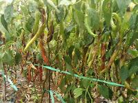 hama dan penyakit, antraknosa, tanaman cabai