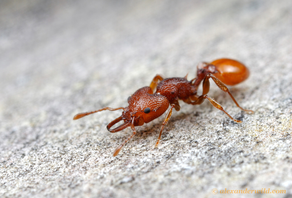Catalogue Of Organisms Trap Jaw Ants Of Australia And A