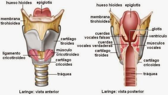 TICS Fonoaudiologia: Anatomía de la Voz