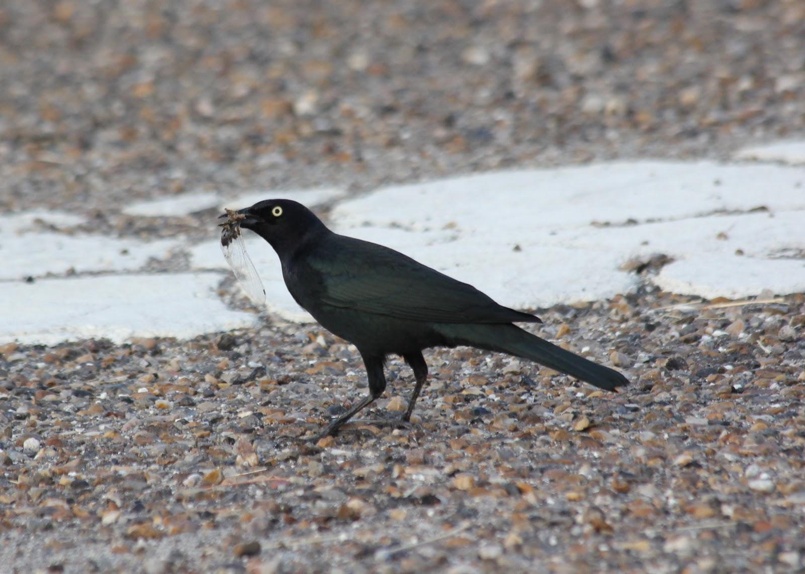 PragerBirds: Today's Bird: Brewer's Blackbird