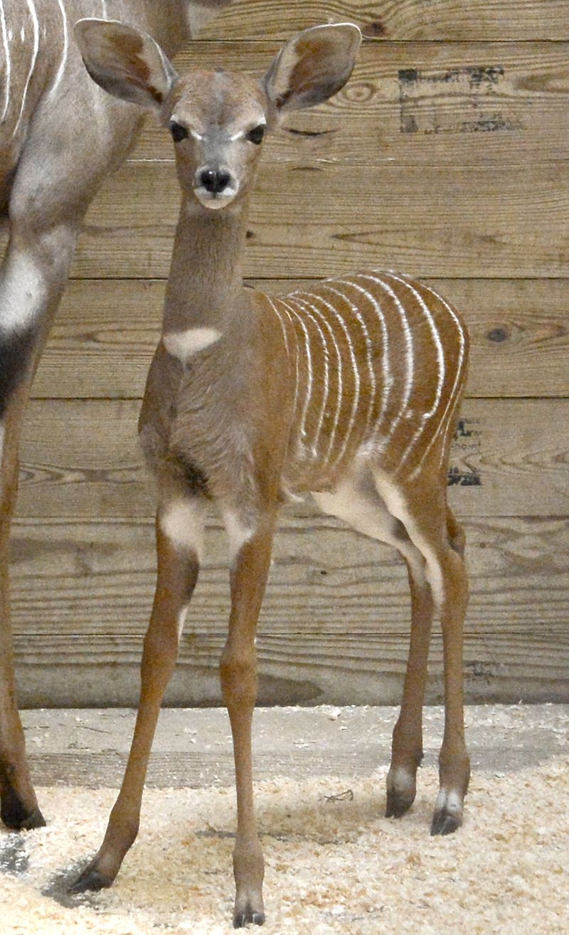 Baby Animals: Sitatunga Calf 2