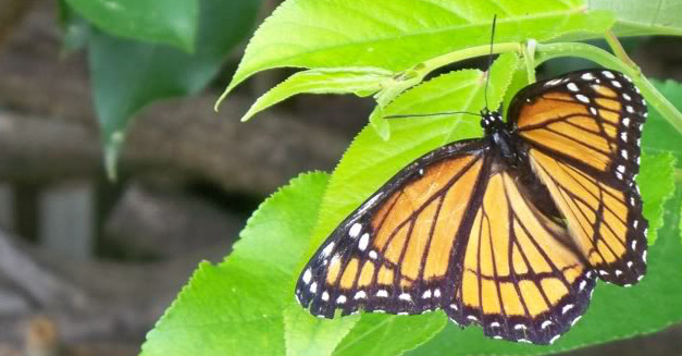 A female Monarch butterfly  Scientific name is Danaus plexippus