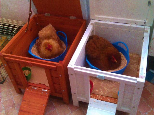 Reparto maternità creativo per chiocce con cibo e acqua