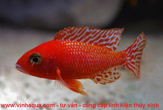 Cá ali đỏ
