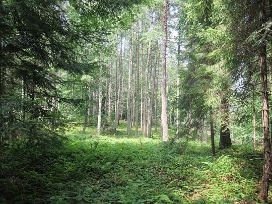 Las na stokach Krzyżowej.