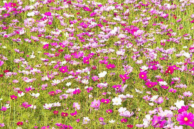 close-up, Cosmos, flowers