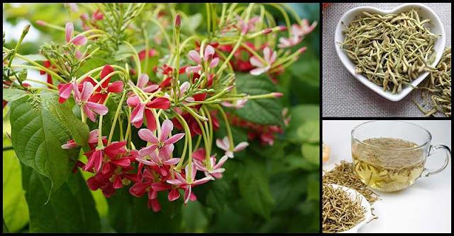 Niyog-Niyogan: A Flowering Plant With Numerous Medicinal Uses