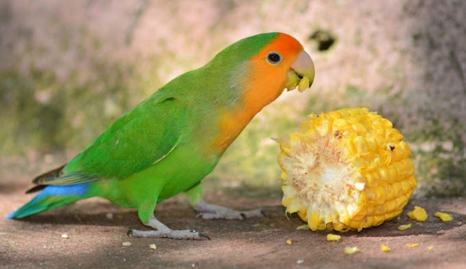 Makanan Lovebird Agar Gacor dan Ngekek