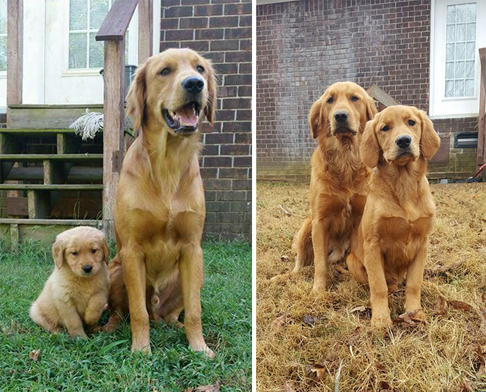 50 Heart-Warming Photos of Animals Growing Up Together - Blue And Belle Then And Now 4 Months Later