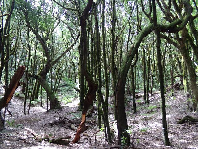 Wald im Garajonay Nationalpark auf La Gomera