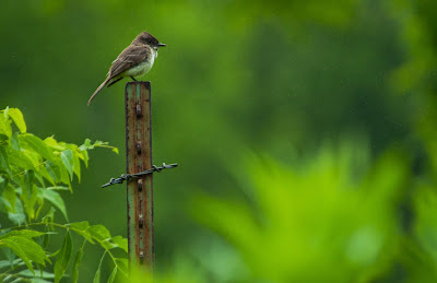 Flycatcher, Hagerman National Wildlife Refuge