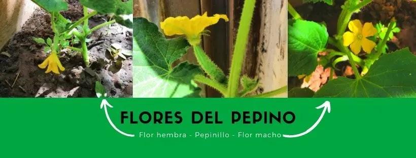 Actualización - Planta del pepino desde la semilla. Polinizar las flores?