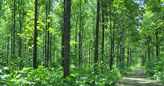 Pohon Jati MaxiGrow usia 2 Tahun sama dengan usia 5 Tahun tanpa MaxiGrow
