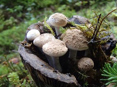 grzyb rosnący na grzybie, grzyby w lipcu, grzyby 2016, Asterophora lycoperdoides grzybolubka purchawkowata