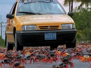 A migração é tão intensa que, para impedir que os crustáceos sejam esmagados, ruas e estradas são fechadas. Tanto as autoridades, quanto pessoas interessadas em proteger os caranguejos, empenham-se nessa tarefa. Até mesmo pontes plásticas são construídas sobre as estradas para que os caranguejos atravessem sem perigo.