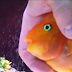 Cute! This fish also wanted a massage from it's owner