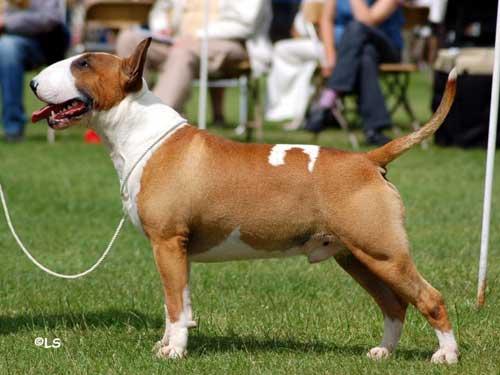 Cara Mengetahui Jenis-Jenis Dan Ciri-Ciri Anjing Pitbull Terbaik
