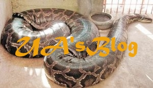 Inside The Anambra Town Where Human Beings And Huge Pythons Live In Harmony (Photos)
