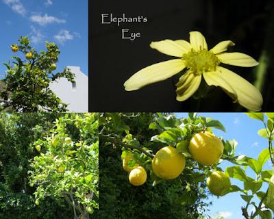 Lemon yellow for Cornish Stripe