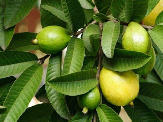 Five Amazing Health Benefits Of Guava Leaves You Should Know