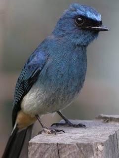Tips Dan Cara Mengetahui Perbedaan Burung Tledekan Biru Jantan Dan Betina Paling Akurat