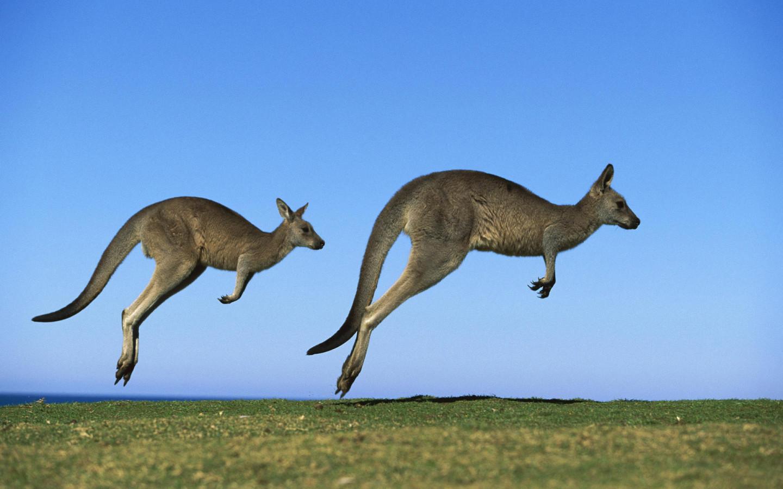Kangaroo High Resolution Wallpapers Free Download ...