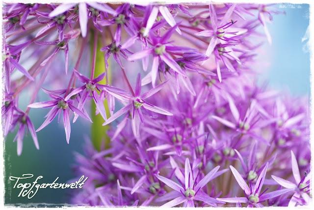 Gartenblog Topfgartenwelt: Zierlauch lila, Makro