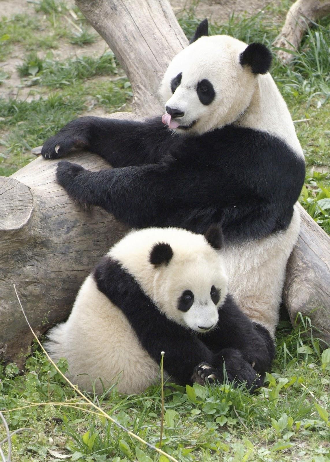Amazing Giant Panda Endangered Species Giant Pandas