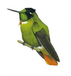 brazil endemic birds