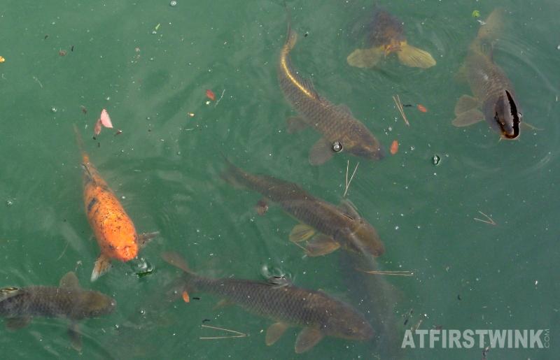 Nijo Castle (二条城)  Kyoto Japan honmaru palace koi carp fish
