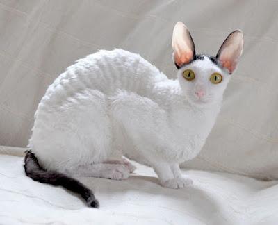 Oyuncu-Kedi-Türleri