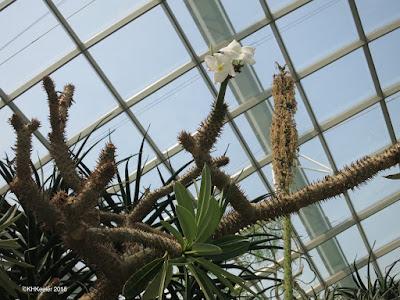 cactus, frangipani, Singapore