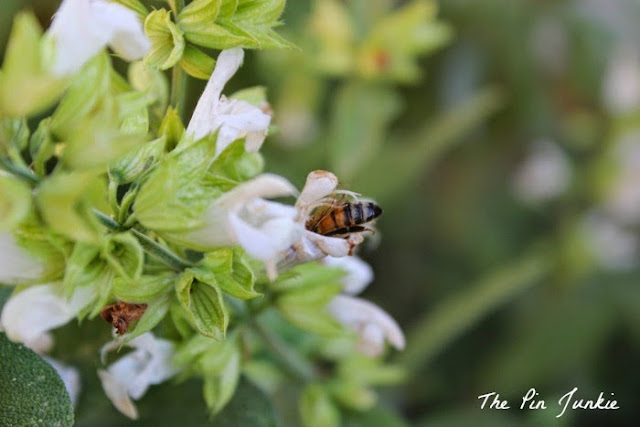 bee in sage flower