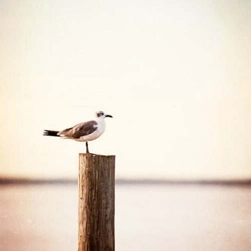 Seagull Art Photograph