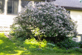 Ms Kim back yard lilac