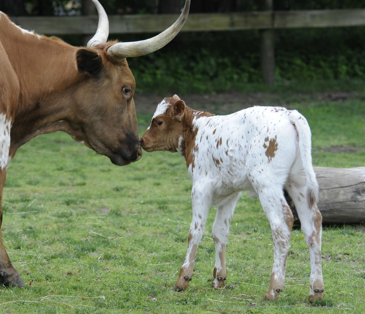Baby Animals: Baby Cow 4
