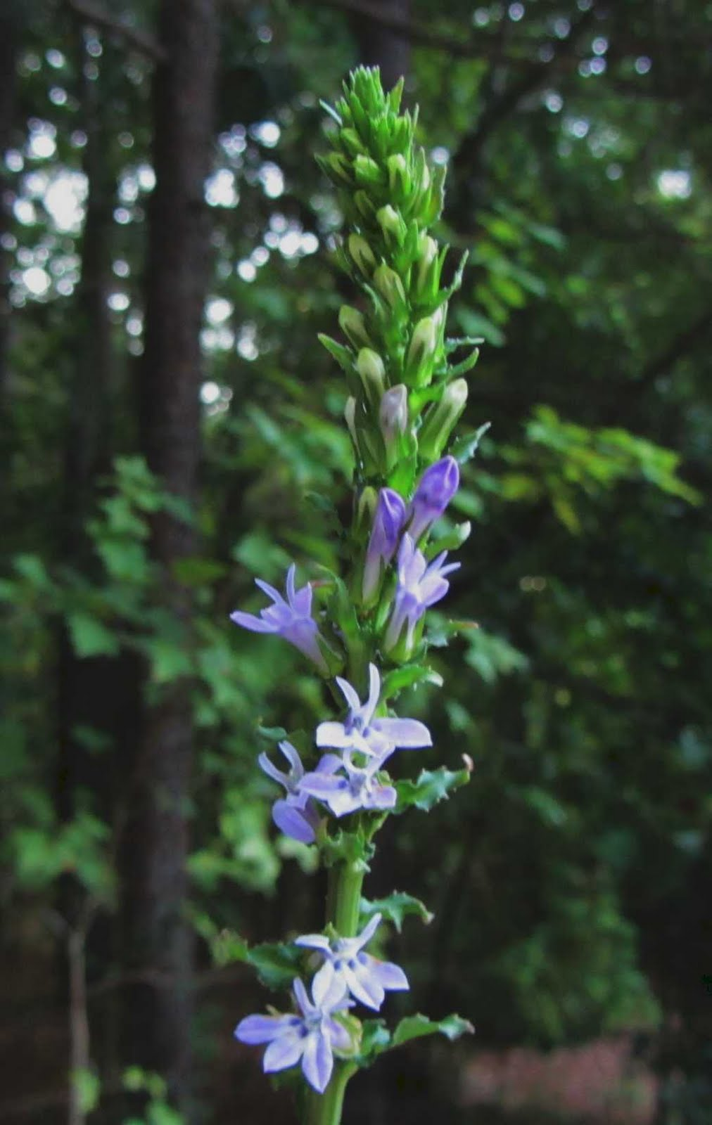 Using Georgia Native Plants Lobelia Jewel Of The Late