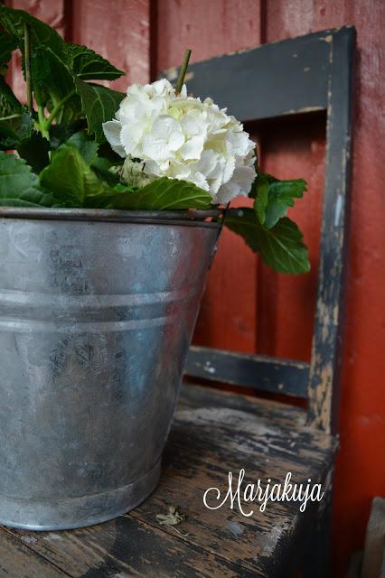 hortensia peltiamparissa